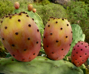 prickly-pear